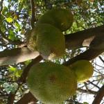 Jackfruchtbaum trägt Früchte