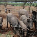200 Iberische Schweine tümmeln sich auf dem Gut